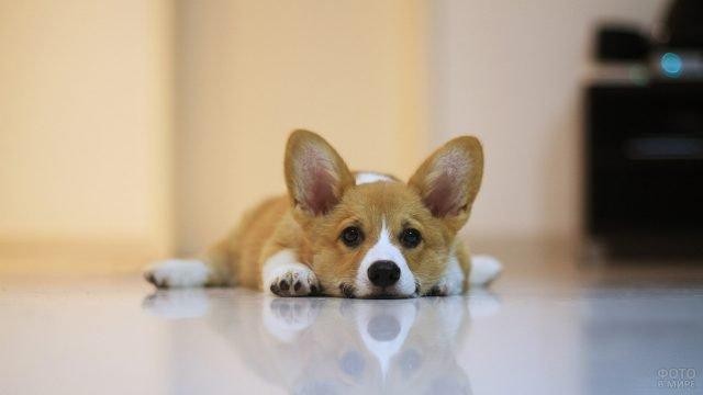 Собачка отдыхает на полу