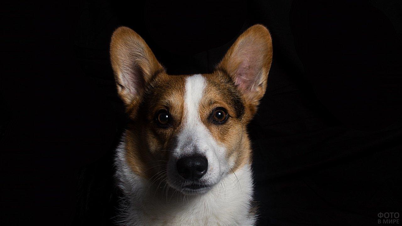 Собака корги в анфас