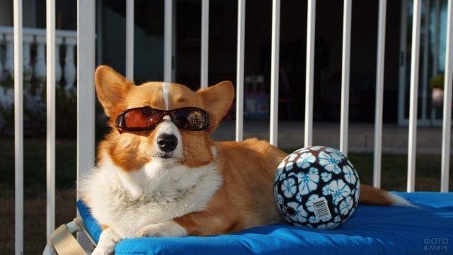 Стильный корги в очках с большим мячом