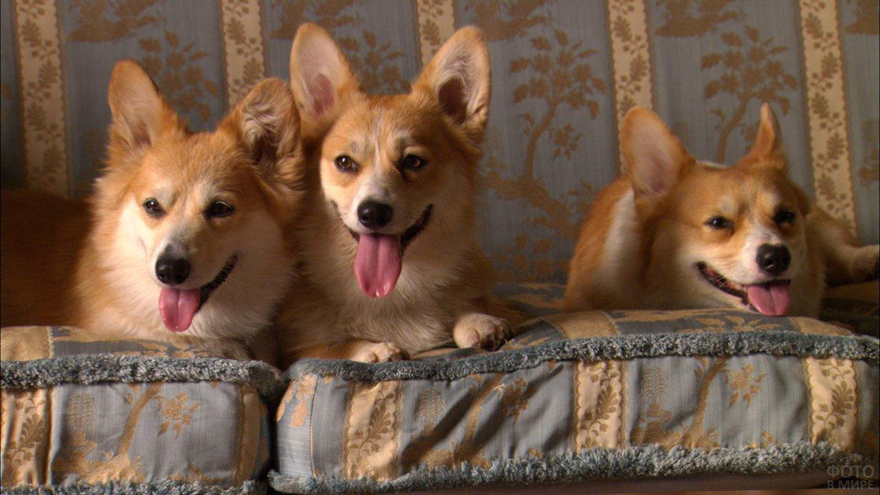 Три корги отдыхают на диване