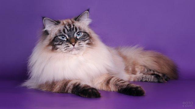 Добротный невский кот на сиреневом фоне