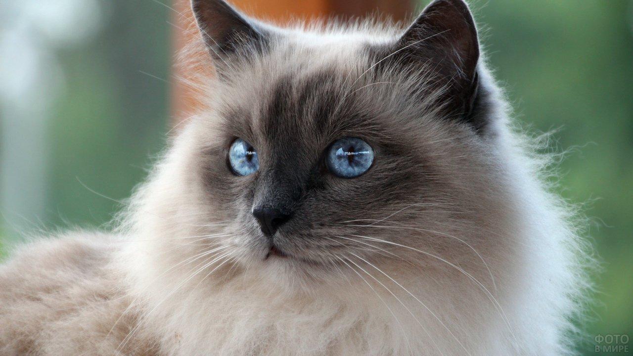 Голубые глаза невской кошки