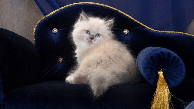 Котёнок невской породы на синем диване