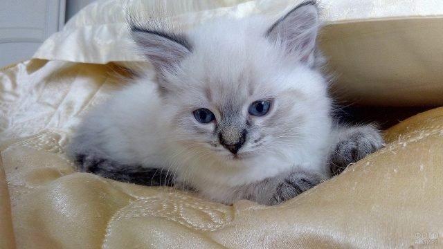 Маленький котёнок невской породы сидит на покрывале