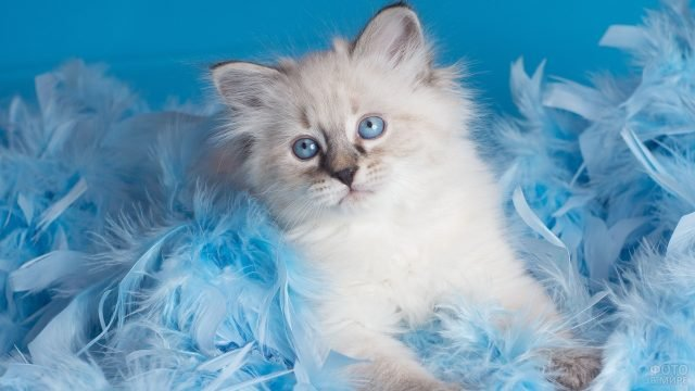 Маленький невский котёнок сидит в голубых перьях
