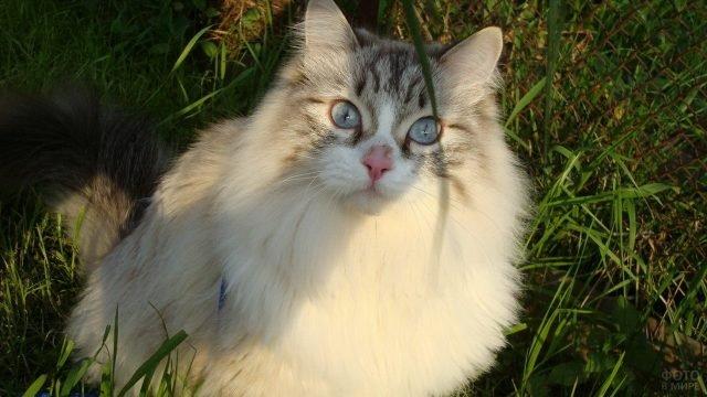 Невская кошечка лежит на траве
