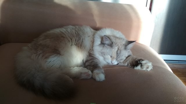 Невская кошечка спит на диване