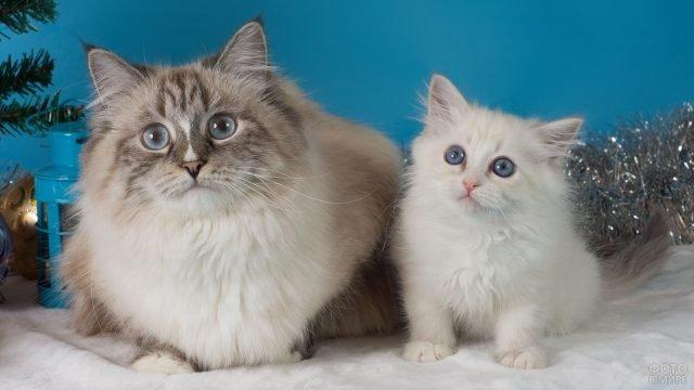 Невская кошка со своим котёнком