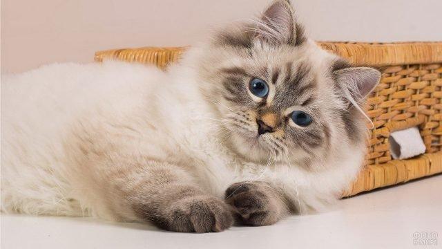 Невская маскарадная кошка лежит на боку