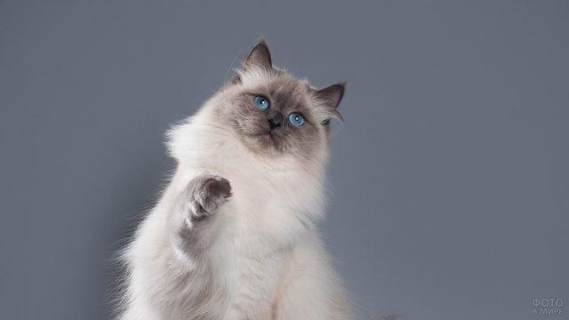 Невский кот поднял лапку вверх