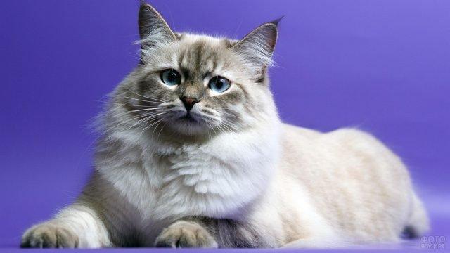 Невский котик на сиреневом фоне