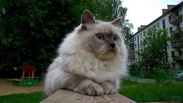 Невский котик сидит на улице