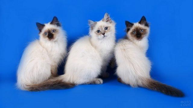 Невский котёнок сидит с сиамскими котятами