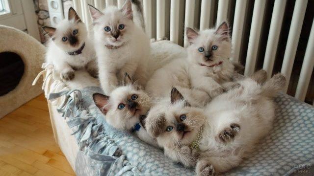 Пять котят невской породы