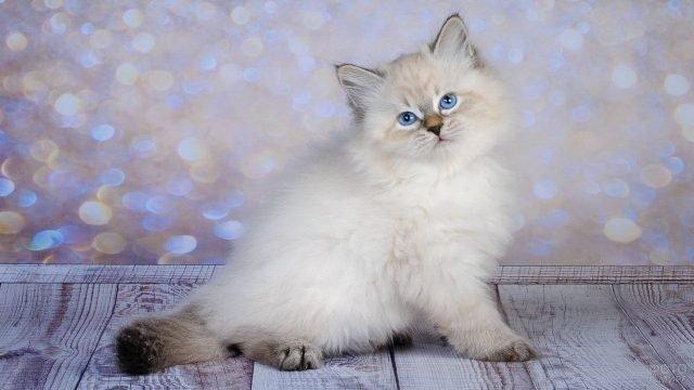 Пушистый котёнок невской породы