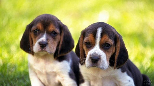Два щенка бигля на прогулке