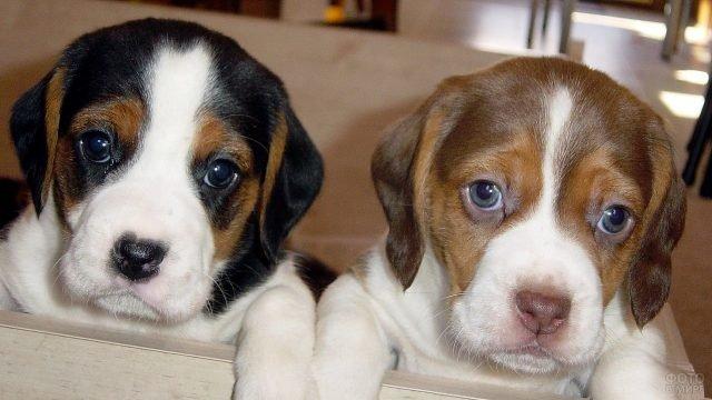 Милые щеночки бигль
