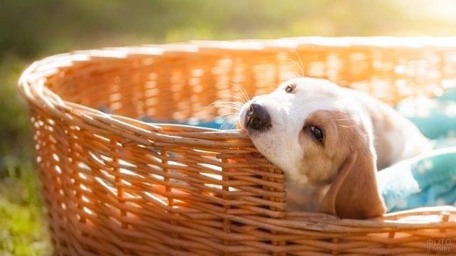 Щенок греется в лучах солнца лёжа в корзинке
