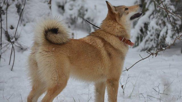 Амурская лайка на прогулке зимой смотрит вверх