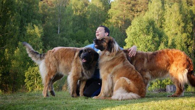 Хозяин гуляет со своими собаками