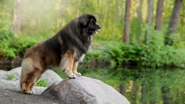Леонбергер стоит на камне и любуется красотой природы