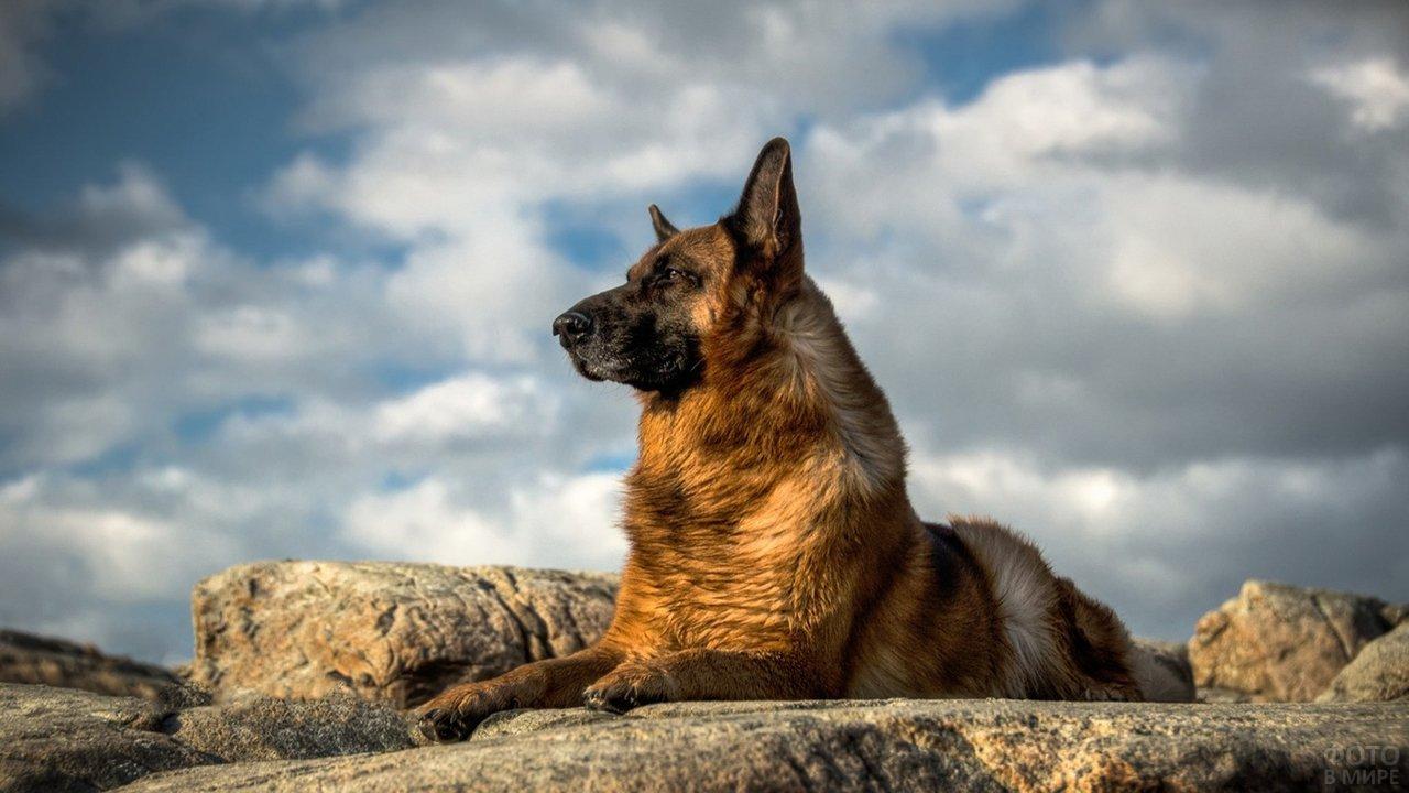 Немецкая овчарка лежит на камне и любуется природой