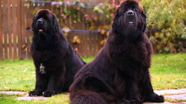 Пара собак ньюфаундленд внимательно наблюдают