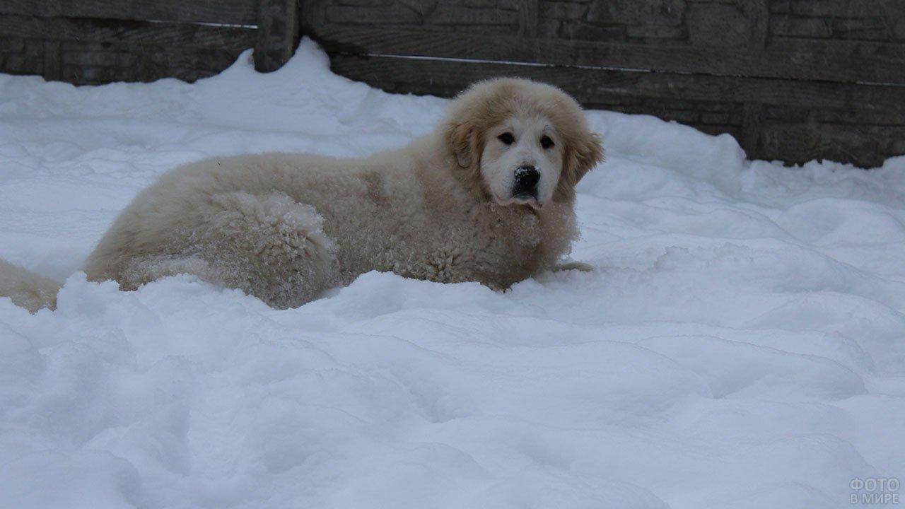 Пиренейская горная собака лежит в снегу