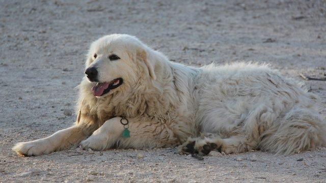 Пиренейская горная собака отдыхает на маленьких камушках