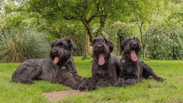 Три лохматых пса во время прогулки отдыхают на травке