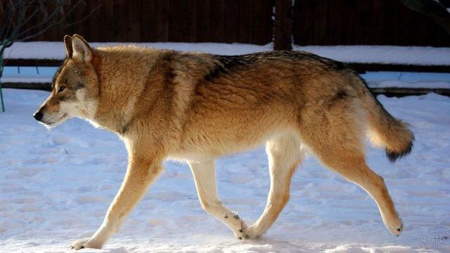 Волкособ быстро идёт по снегу
