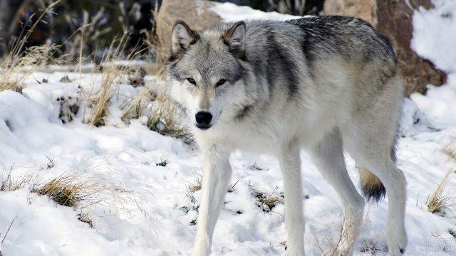 Волкособ на прогулке зимой пристально смотрит
