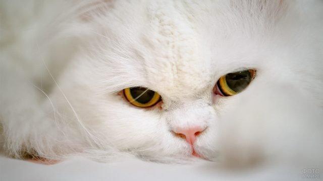 Белая киска с большими глазами