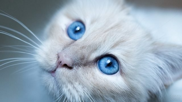 Белая кошечка с голубыми глазками