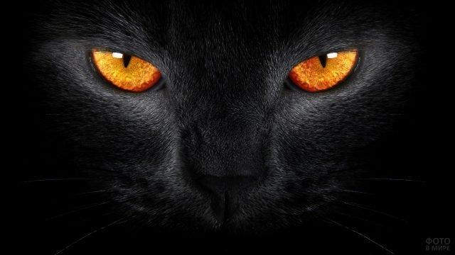 Чёрная кошка с оранжевыми глазами