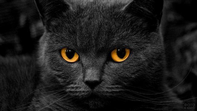 Чёрный кот с оранжевыми глазами