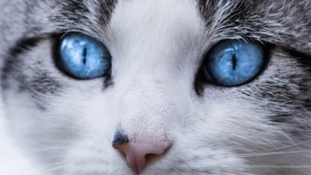 Голубые глаза кошки крупным планом
