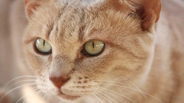 Киска с песочными глазами