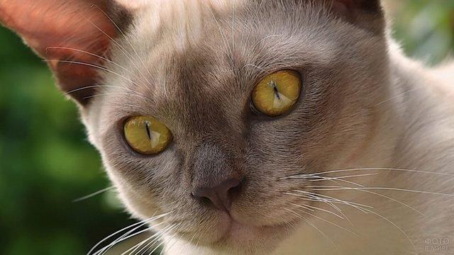 Кисуля с жёлтыми глазами