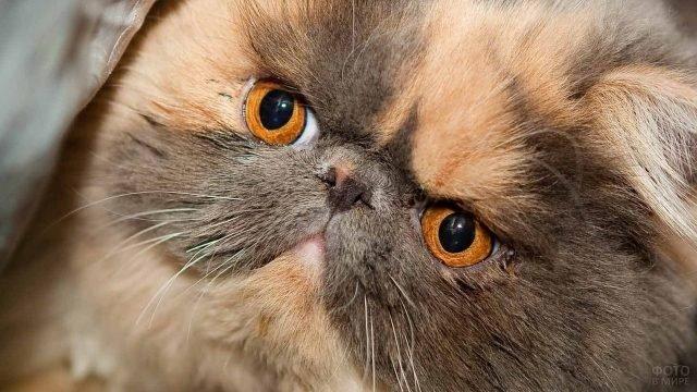 Кот с большими рыжими глазами