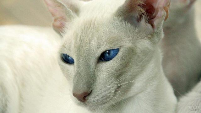 Прищур кошачьих синих глаз