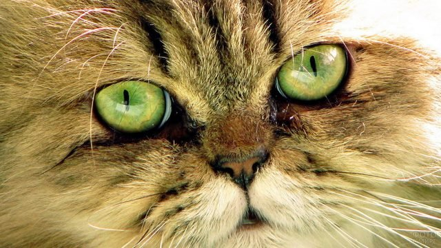 Пушистый зеленоглазый кот