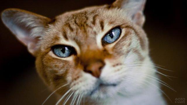 Рыжий котик с синими глазками