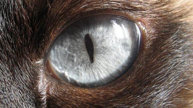Серый глаз кошки крупным планом