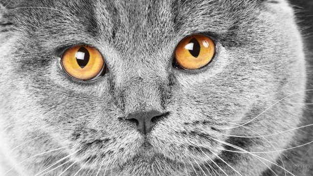 Серый котя с красивым цветом глаз