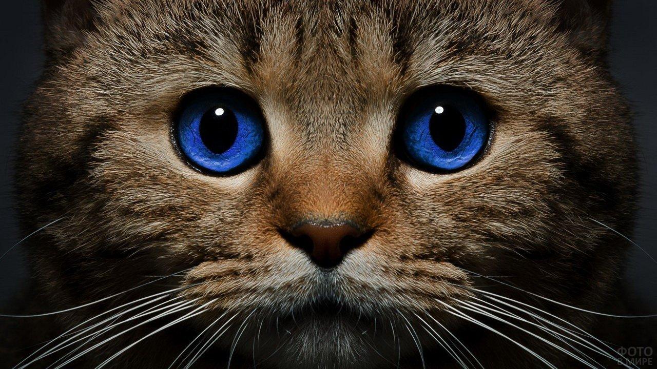 Синеглазый котик крупным планом