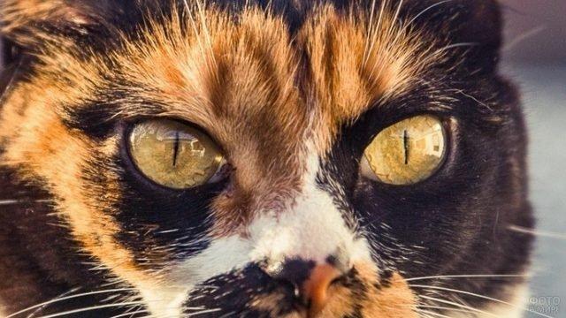 Трёхцветная кошечка с жёлтыми глазками