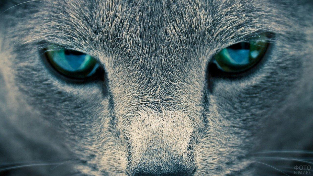 Зеленоглазый серый кот