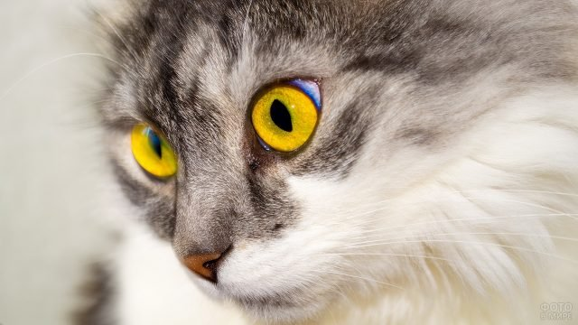 Жёлтые глаза кошки