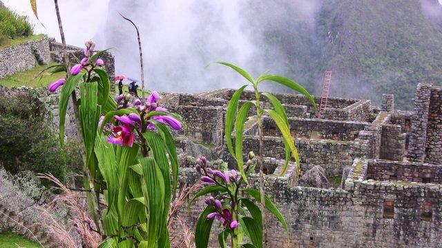 Фиолетовые цветы на фоне руин